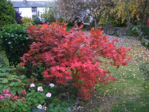 And back home to a bit of beautiful autumn. The acer by our garden gate.